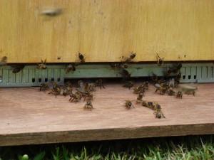 API abeilles élevage (35)