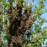 api essaim jardin 7 5 16 (2)